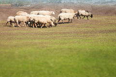 Flock of sheep grazing in the meadow Stock Photos
