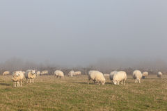 Flock of sheep grazing in a misty winter pasture Royalty Free Stock Image