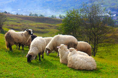 Flock of sheep grazing on mountain hill Stock Images