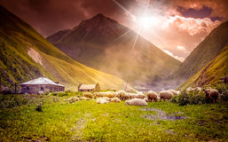 Flock of sheep grazing in a mountain valley Royalty Free Stock Photo