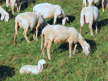 Flock with sheep grazing Royalty Free Stock Images