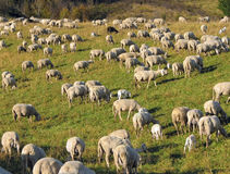 Flock with sheep grazing Royalty Free Stock Photo