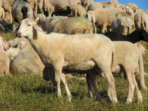 Flock with sheep grazing Royalty Free Stock Photography