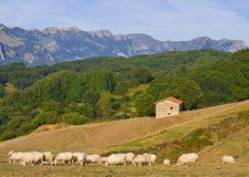 Flock of sheep grazing in the mountains of Aralar Royalty Free Stock Photography