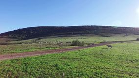 Flock of Sheep Grazing in Mountains stock video footage