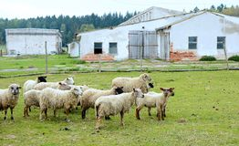 Flock of sheep. Flock of grazing sheep outside of the farm Stock Photo