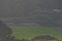 Flock of sheep grazing in a pasture Stock Images