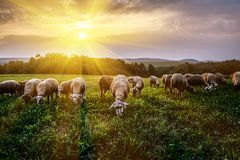 Flock of sheep grazing in a pasture stock image