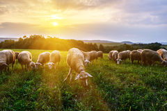 Flock of sheep grazing in a pasture Stock Photography