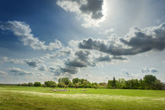 Flock of sheep grazing on the pasture at sunny day Royalty Free Stock Image
