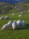 Flock of sheep grazing on pastures Euskadi Royalty Free Stock Photography