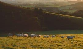 Flock of sheep grazing at sunrise Royalty Free Stock Photo