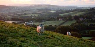 Flock of sheep grazing at sunrise Royalty Free Stock Photos