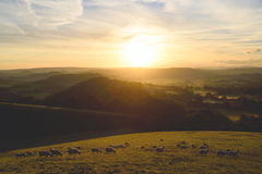 Flock of sheep grazing at sunrise Royalty Free Stock Photography