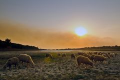Flock of sheep grazing at sunset Royalty Free Stock Images