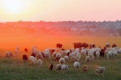 Flock of sheep grazing at sunset Stock Photos