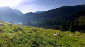 Flock of sheep grazing in the Tatra Mountains at dawn stock video footage