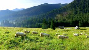 Flock of sheep grazing in the Tatra Mountains at sunrise stock video footage