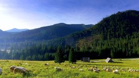 Flock of sheep grazing in the Tatra Mountains at sunrise, Poland stock footage
