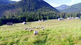 Flock of sheep grazing in the Tatras at dawn stock video