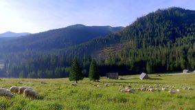Flock of sheep grazing in the Tatras valley at sunrise, Poland stock video footage