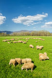 A flock of sheep grazing. A flock of sheep in the Tuscan countryside (Italy) is grazing in the warm spring sunshine Royalty Free Stock Image