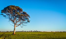 A Flock of Sheep Grazing under a Lonely Tree stock photos