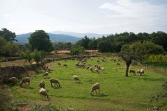 Flock of sheep in the green field royalty free stock photo