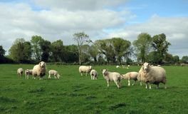 A flock of sheep in the green fields royalty free stock image
