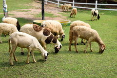 Flock of sheep on green grass Stock Image