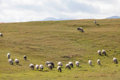 Flock of sheep on green grass Royalty Free Stock Photography