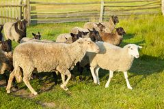Flock of sheep on green grass on pasture. Herd of sheep on green meadow. stock image