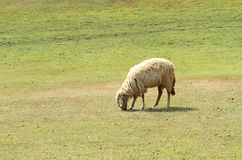 Flock of sheep in green meadow Stock Images
