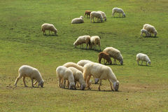Flock of sheep in green meadow Royalty Free Stock Photo
