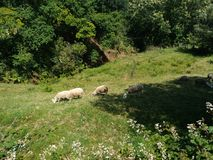 The flock of sheep. A group of sheep eating grass in the mountains Stock Photography