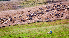 Flock of sheep guarded by sheepdog. Italy stock photo