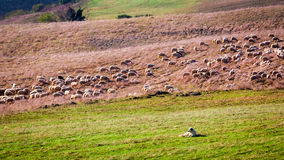 Flock of sheep guarded by sheepdog Stock Photo