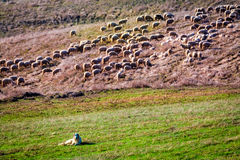 Flock of sheep guarded by sheepdog Royalty Free Stock Photography