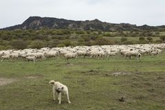 Flock of sheep and a herding dog. Stock Photos