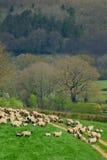 Flock of sheep. Herding on a farmland in Blackdown Hill, East Devon, England Stock Image
