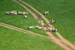 Flock of sheep. Herding on a farmland in Blackdown Hill, East Devon, England Stock Images