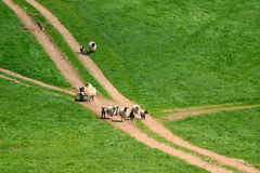 Flock of sheep. Herding on a farmland in Blackdown Hill, East Devon, England Royalty Free Stock Images
