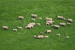 Flock of sheep. Herding on a farmland in Blackdown Hill, East Devon, England Royalty Free Stock Photo