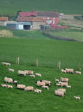 Flock of sheep. Herding on a farmland in Blackdown Hill, East Devon, England Stock Photography