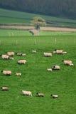 Flock of sheep. Herding on a farmland in Blackdown Hill, East Devon, England Stock Photos