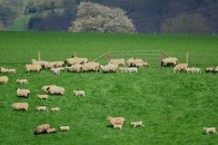 Flock of sheep. Herding on a farmland in Blackdown Hill, East Devon, England Royalty Free Stock Photos