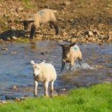 Flock of sheep. Herding on a farmland in Blackdown Hill, East Devon, England Stock Photo