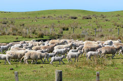 Flock of sheep during herding Royalty Free Stock Photography