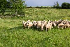 Flock of sheep. Stock Photos