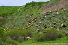 Flock of sheep on hill slope Stock Photo
